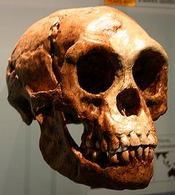 Craneo de Homo Floresiensis