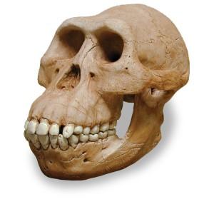 Cráneo de Australopithecus afarensis