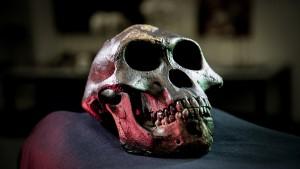 Cráneo de Lucy, Australopithecus afarensis, incluida en el estudio - David Hocking
